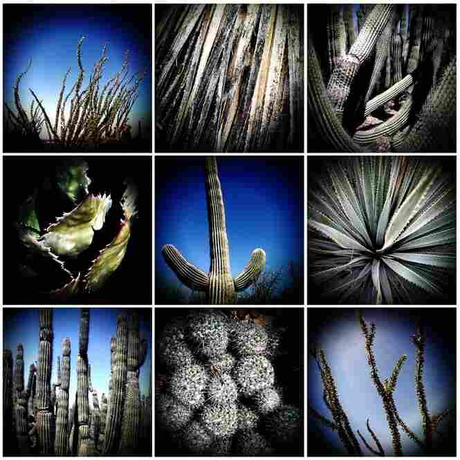 Sonoran Cacti – Sonoran desert, Arizona, 2009
