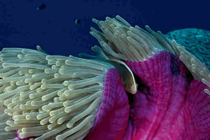Bound in an alliance of mutual benefit, clownfish and their host anemones are the crown jewels of coral reefs. Amphiprion Akallopisos (Skunk Clownfish); Heteractis Magnifica (Magnificent Sea Anemone); photographed in Seychelles