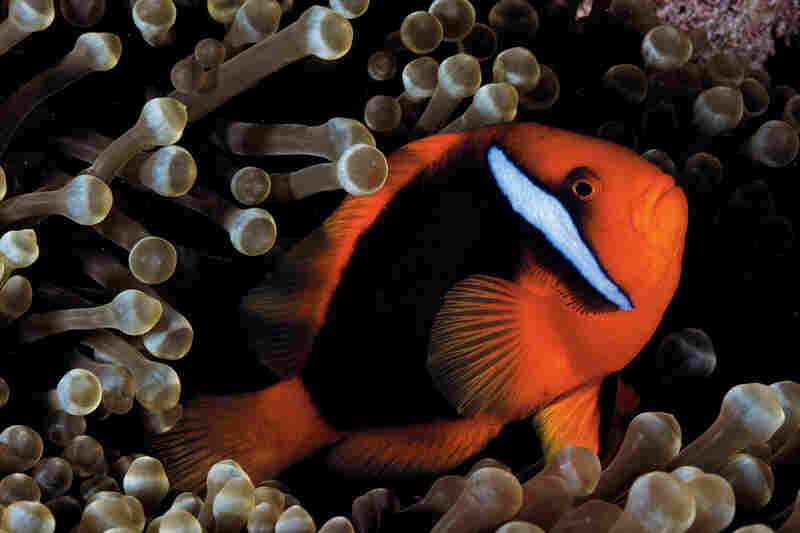 The bubble-tipped anemone is home to more species of clownfish — 14 — than any other. Here a tomato clownfish floats among tentacles colored by algae, a sign of good health. Amphiprion frenatus; Entacmaea quadricolor; Okinawa, Japan
