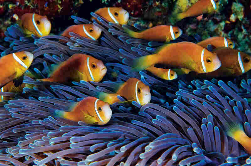 A raft of juvenile Maldives clownfish holds steady against the current. The largest two in the group will become the anemone's breeding pair. Amphiprion nigripes; Heteractis magnifica (magnificent sea anemone); Maldives