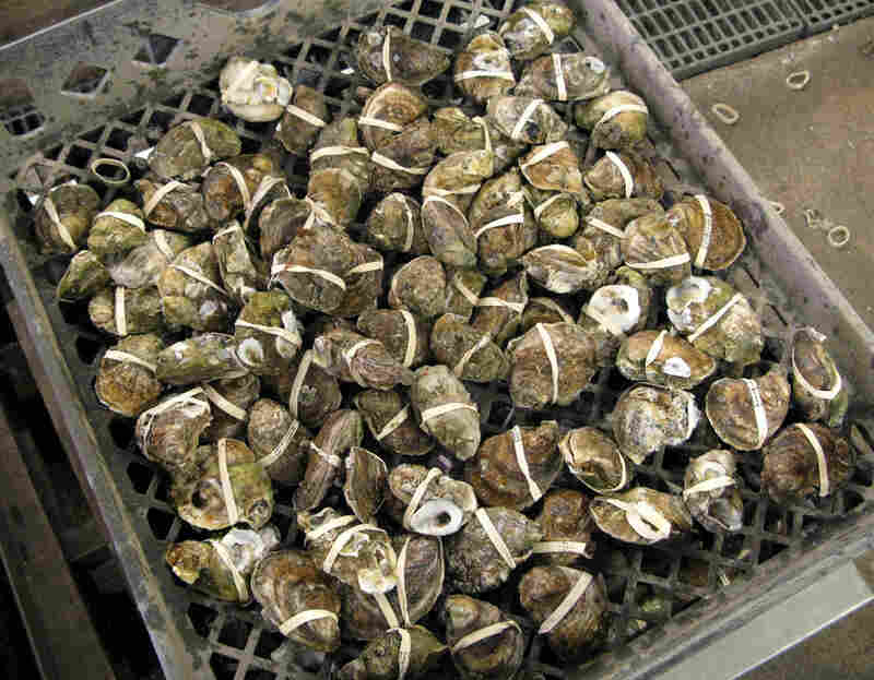 Treated oysters are banded to keep the shell closed during post-harvest processing. Treated oysters have a firmer texture than unprocessed shellfish.