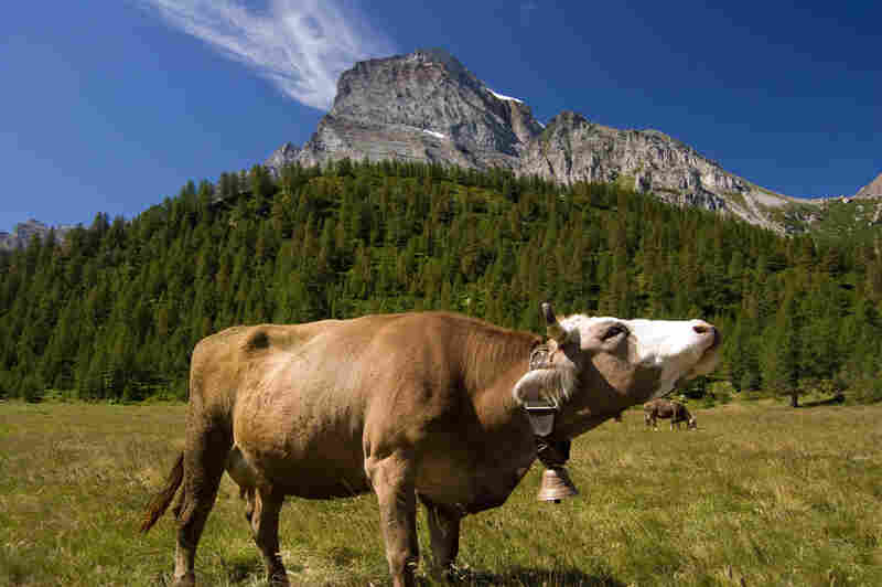 Italy's Piedmont region lies on the border of Switzerland and is surrounded by the Alps.The cows that graze in this region produce milk for some of Italy's best cheeses.