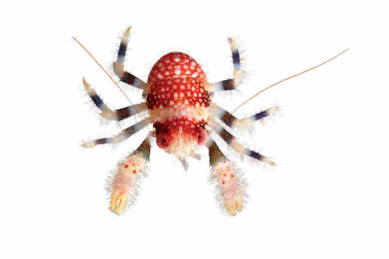 Squat lobster, Galathea pilosa, 0.5 inches across