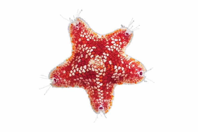 Sea star, Meridiastra rapa, 0.55 inches across