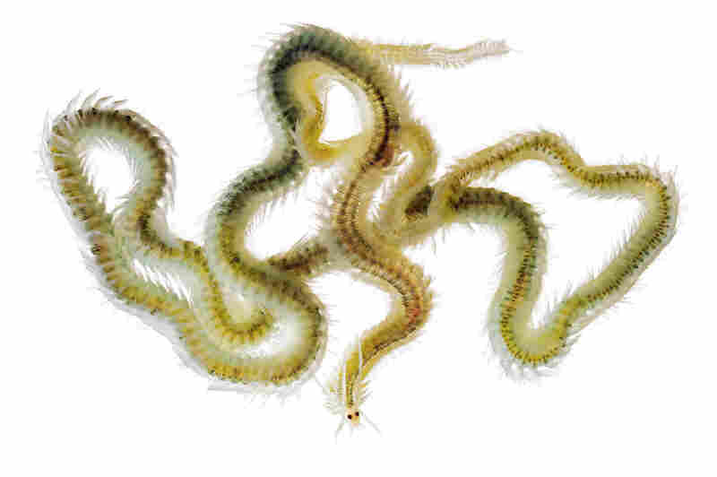 Polychaete worm, Phyllodoce madeirensis, 6 inches long