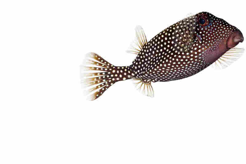 Whitespotted boxfish, Ostracion meleagris, 6 inches long