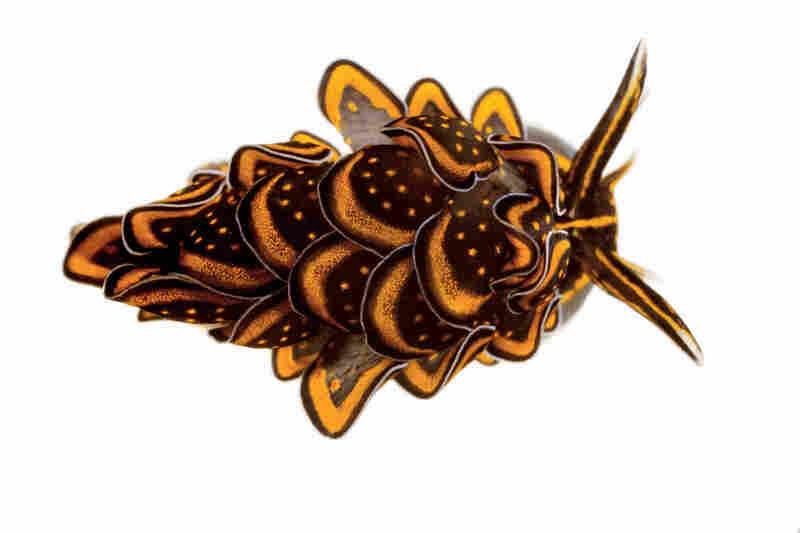 Sacoglossan sea slug, Cyerce nigricans, 0.6 inches long