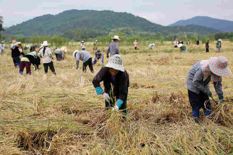 Thai farmers cultivate rice near Chiang Saen. Thailand is the largest rice exporter in the world.