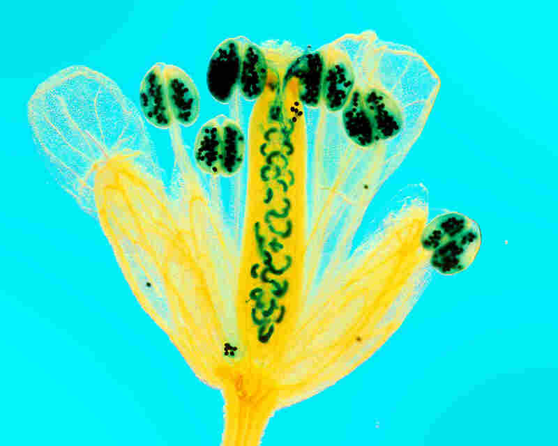 """This thale cress flower does what most plants avoid: it fertilizes itself. In """"Self Fertilization,"""" you can see the thin tubes that lead from the pollen heads to the ovaries. Polarized light used by the microscope turns the normally white flower yellow and the background blue."""