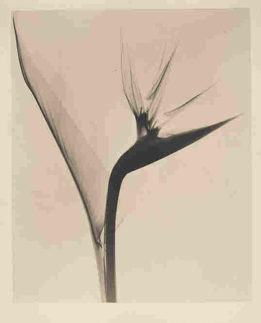 Bird of Paradise, radiograph