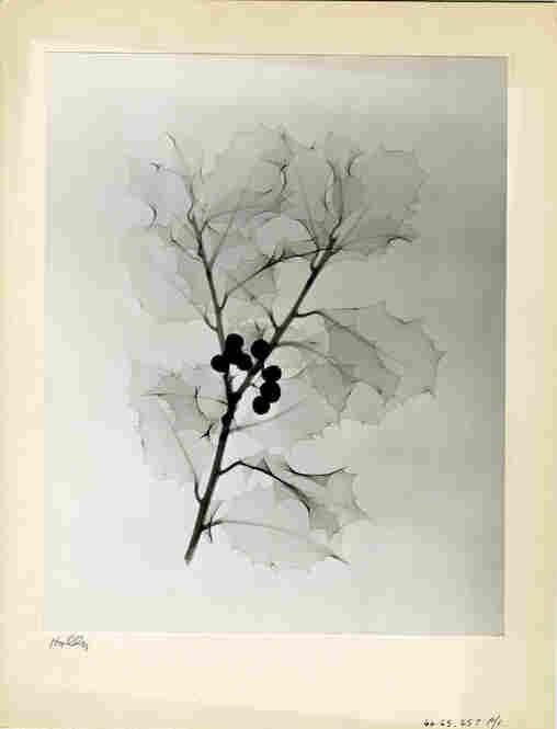 Holly, radiograph