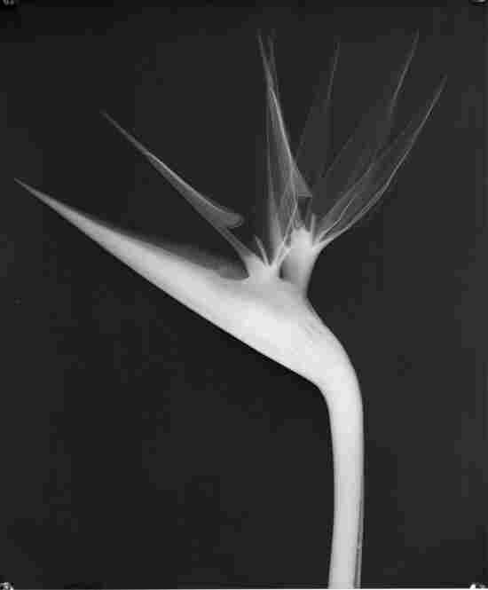 Bird of Paradise, X-ray film