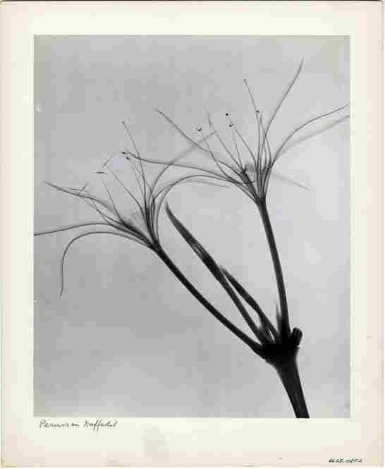 Peruvian Daffodil, radiograph