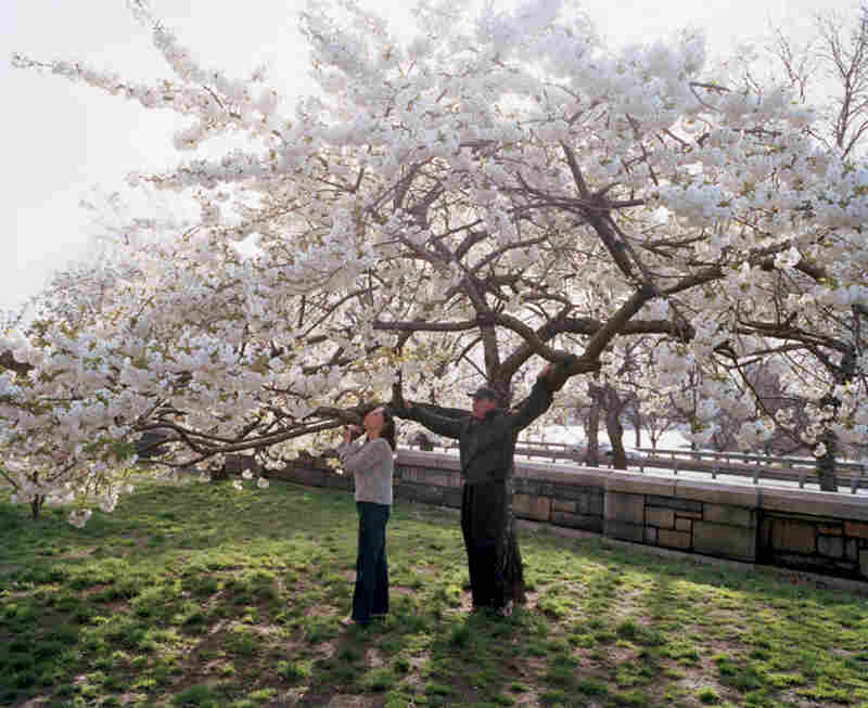 Riverside Park, near 98th St., ornamental cherry, spring