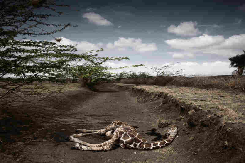 Contemporary issues singles, 2nd prize: Giraffe killed by drought, northeast Kenya, Sept.