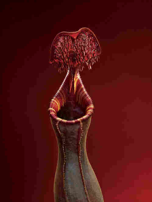 A tropical pitcher plant smells sweet to bugs, but its slippery surface sucks prey into an open maw.