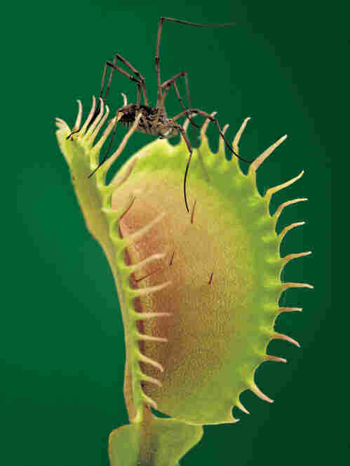 A Venus flytrap snaps shut if its hairs are brushed twice.