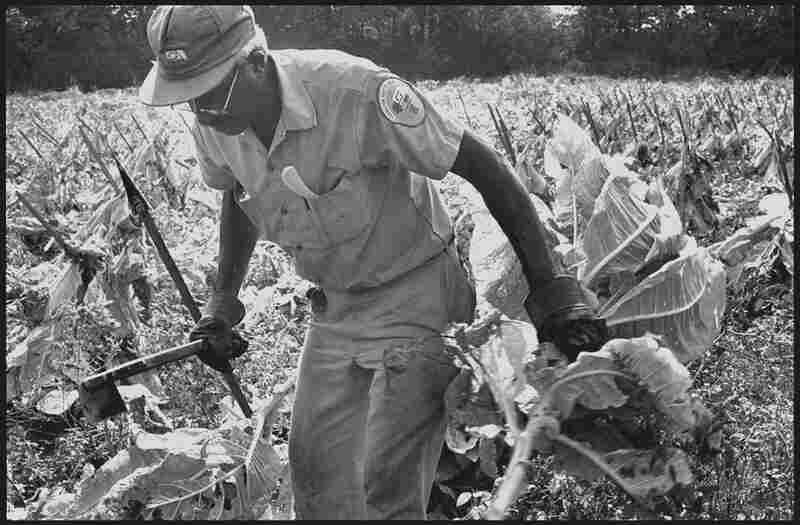 Chopping Tobacco, 2005. Louis Burton tends to the last tobacco harvest. Once an economic mainstay, the tradition of tobacco farming has almost entirely faded. Men like Burton would reap tobacco on top of a full-time day job.