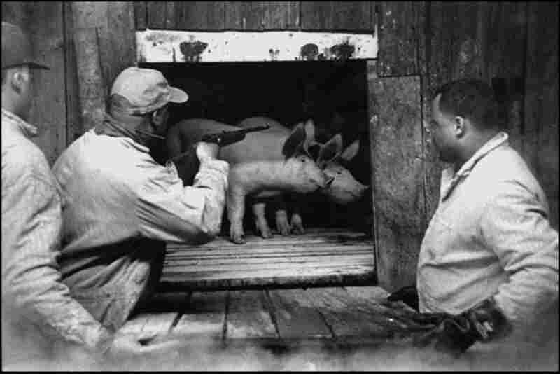 Hog and Gun, New Zion, 2002. Leroy Talbert, the son of Ernest Talbert, performs the community's very last hog killing. It was a tradition for decades, but is no longer practiced.