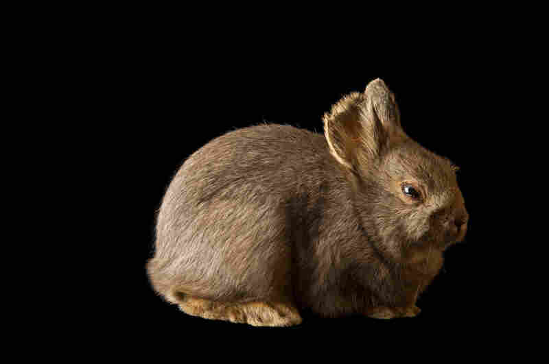 Bryn, a now-extinct Columbia Basin pygmy rabbit, sat for this portrait in 2007. She died in 2008, marking the end of her genetic line. This subpopulation lost its sagebrush habitat as the land was developed for agriculture in Washington state.