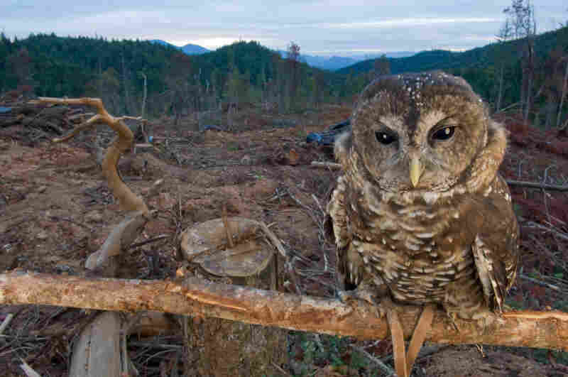 A captive northern spotted owl in a clear-cut near Merlin, Ore. Habitat loss and climate change are the two primary factors leading to the extinction of species.