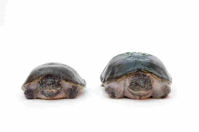 A mated pair of threatened flattened musk turtles (Sternotherus depressus) at the Tennessee Aquarium. A few months after this photo was taken, the male (smaller) ate the female.