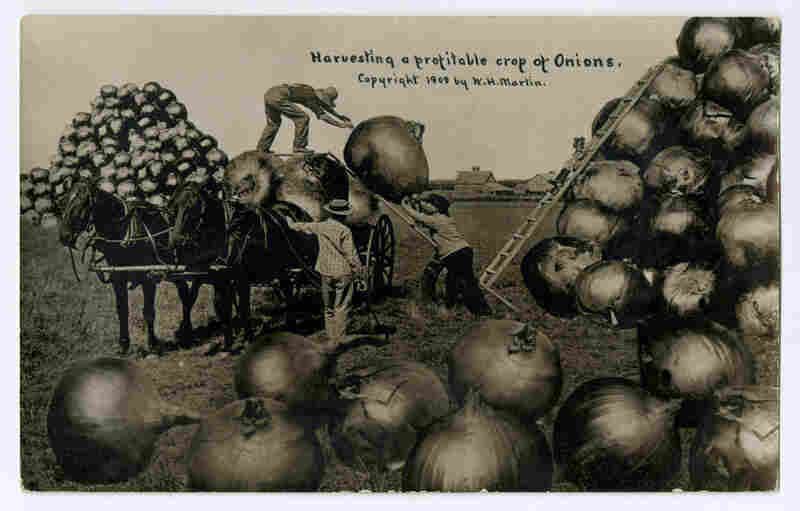 """Harvesting a profitable crop of Onions."" W.H. Martin, 1909. Published by The North American Post Card Co., Kansas City"