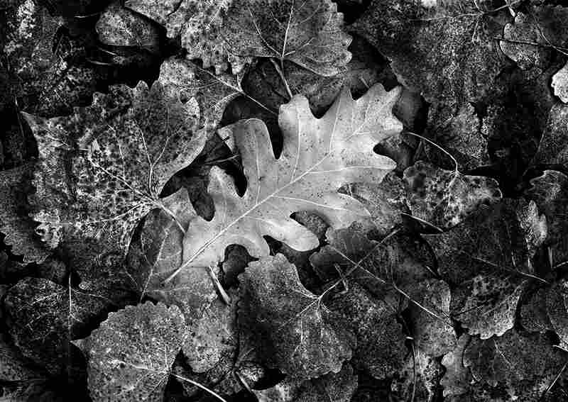 Oak Leaf and Cottonwoods, 2001