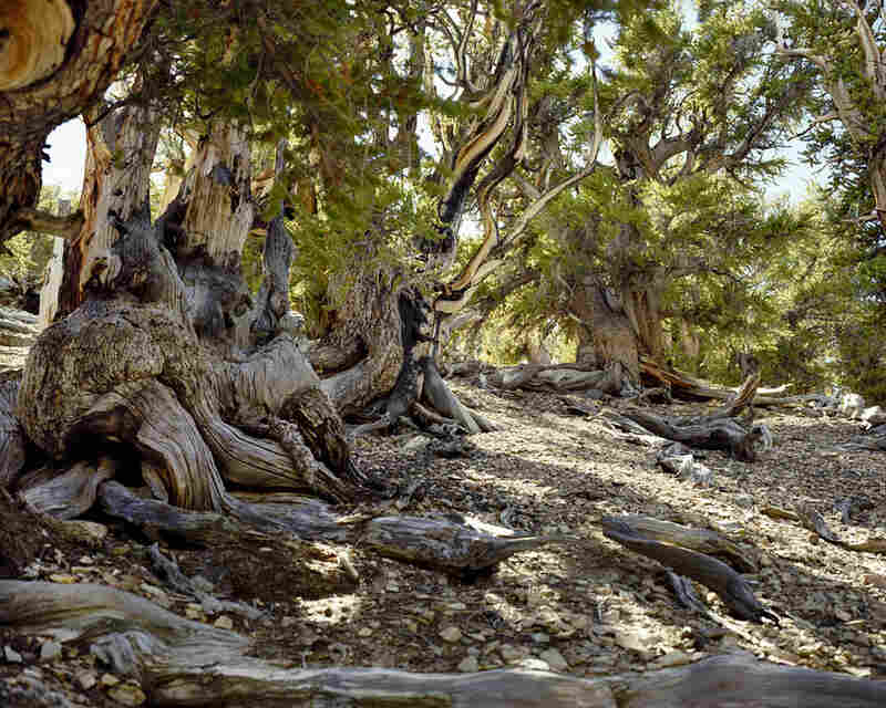 """""""Bristlecone Pine #0906-3033"""" (Up to 5,000 years old; White Mountains, Calif.)"""