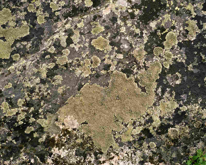 """Lichen R. Geographicum #0808-04A05 Approx. 3,000 years old; Alanngorsuaq, Greenland). Sussman said her time in Greenland was """"like traveling back in time."""""""