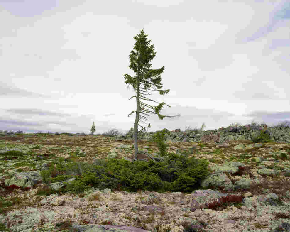 Spruce Gran Picea #0909 – 6B37 (9,500 years old; Fulufjallet, Sweden). The location of the tree is known to very few and Sussman had to promise that she would not reveal it to anyone.
