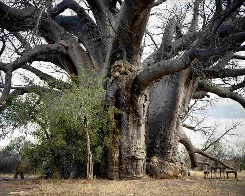 Sagole Baobab #0707-1086 (2,000 years old; Limpopo province, South Africa)