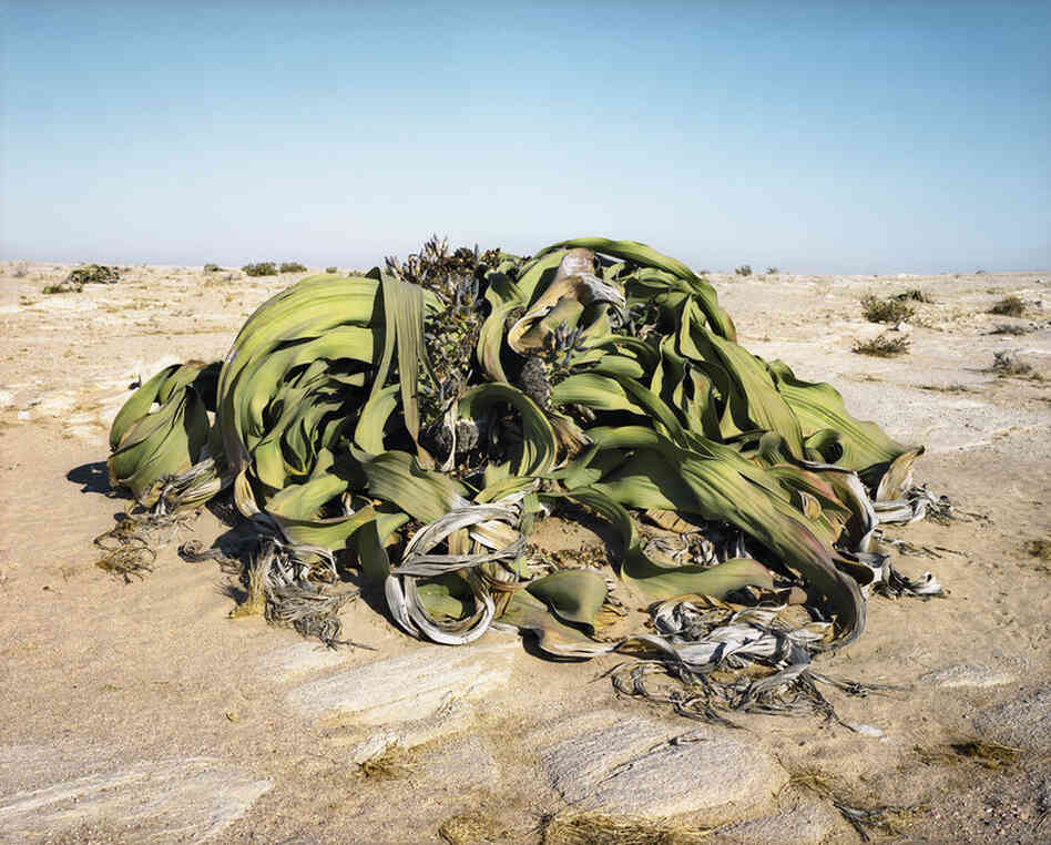 Welwitschia Mirabilis #0707-22411 (2,000 years old; Namib Naukluft Desert, Namibia). This plant has adapted to its desert environment and gets its moisture from the adjacent sea.