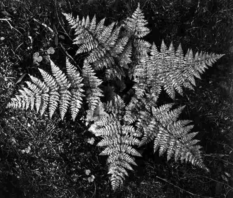 Ferns in Glacier National Park, Mont.