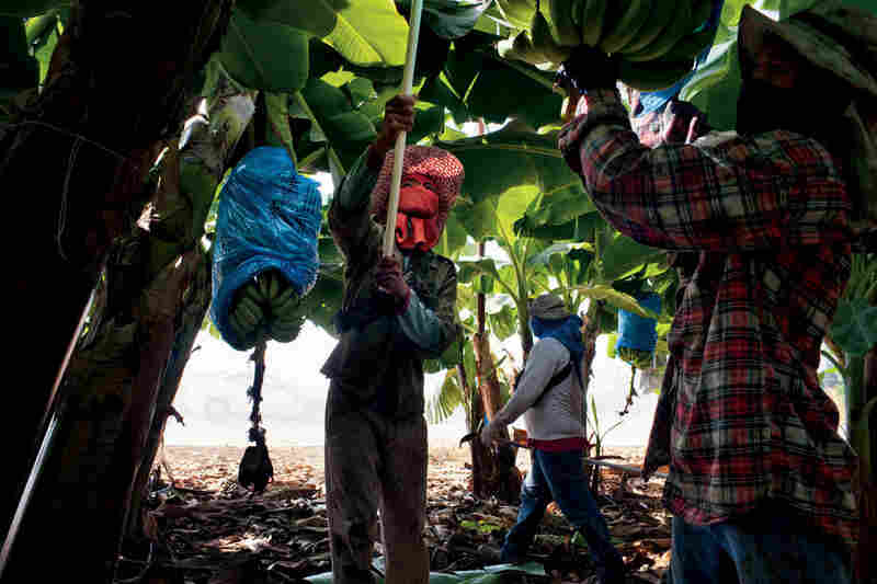 Workers from Thailand harvest bananas on an Israeli kibbutz in the Jordan Valley. Though lucrative, the tropical import needs at least eight times as much water as tomatoes.