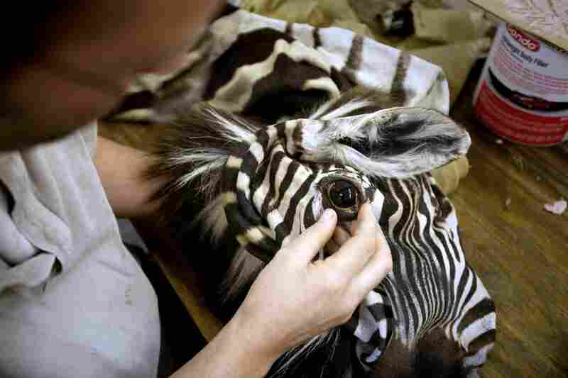 Rhymer tests the fit of a glass eye in the zebra skin he is mounting.