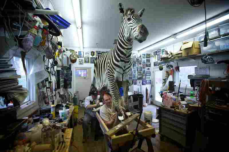 Paul Rhymer, the Smithsonian's last taxidermist, and his assistants sew up the leg of a Burchell's zebra. Rhymer worked for the Smithsonian for a quarter of a century, but the institution no longer needs a full-time taxidermist.