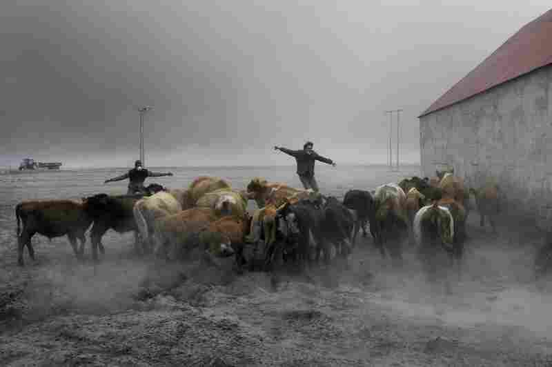 Farmers team up to rescue cattle from exposure to the toxic volcanic ash at a farm in Nupur, Iceland, April 17.