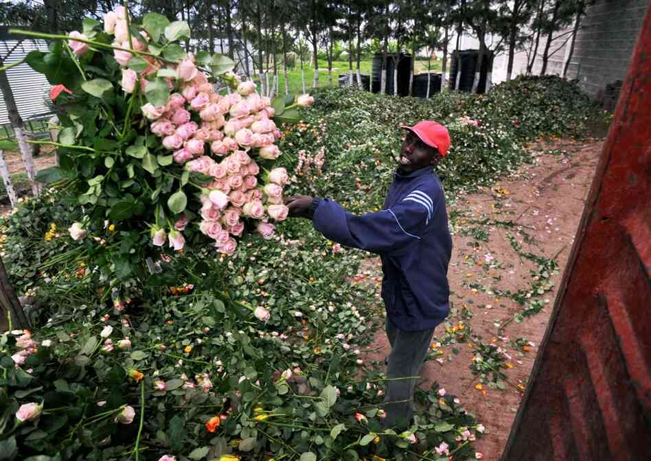A farm worker loads a truck with discarded fresh roses at a flower exporter's farm April 19 in Naivasha, Kenya. Kenya's flower exports are wilting under the economic burden of European airspace closures, leaving growers facing huge losses. These flowers had been packed and were ready to export but are now going to compost.