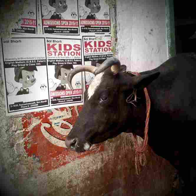 A friendly bull, Varanasi.