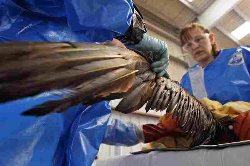 Danene Birtell with Tri-State Bird Rescue and Research tends to a Northern Gannet in Fort Jackson, La., on April 30. The bird, normally white when full grown, is covered in oil from the oil spill.
