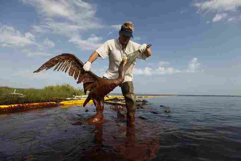 Plaquemines Parish coastal zone director P.J. Hahn lifts an oil-covered pelican out of the water on Queen Bess Island in Plaquemines Parish, La., June 5.