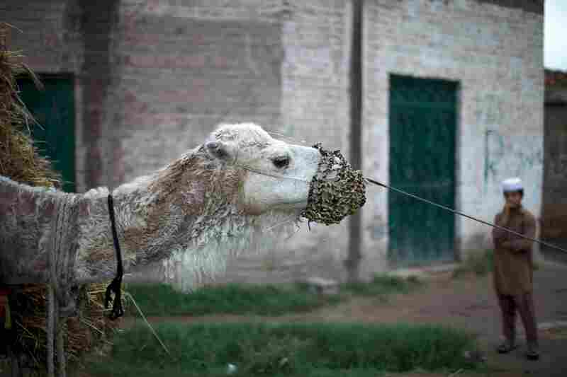 A camel carries a load of hay through Mohib Banda, about 75 miles from Islamabad. Residents say their peaceful town could not have been involved in Shahzad's alleged turn to radicalism.