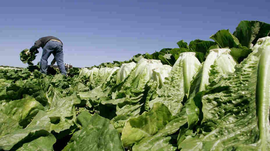 A man picks lettuce in a field