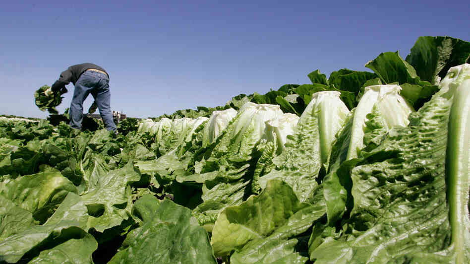 A man picks lettuce in a field