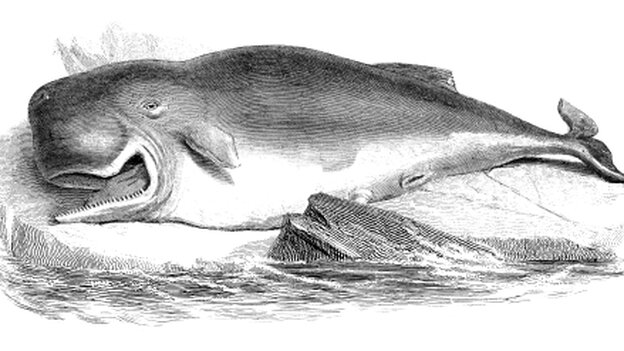 engraving of a sperm whale