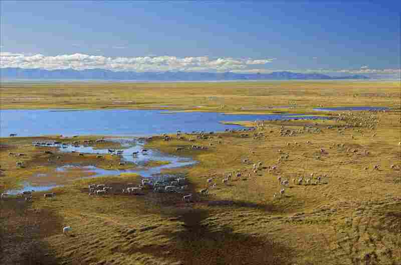 """Members of the Porcupine caribou herd migrate across the Arctic National Wildlife Refuge's coastal plain in the so-called """"1002 Area,"""" where oil companies have intended to drill in past years"""