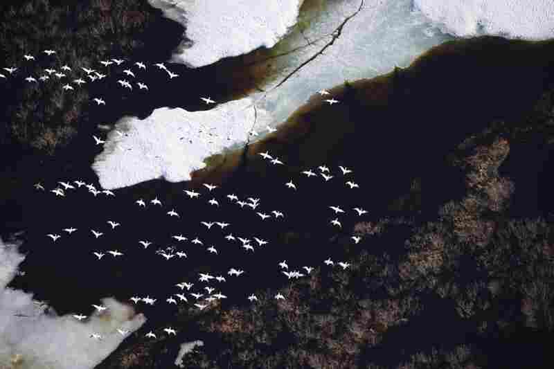 Snow geese return to the Arctic during spring migration along coastal plains near the Teshekpuk Lake area in northwest Alaska.
