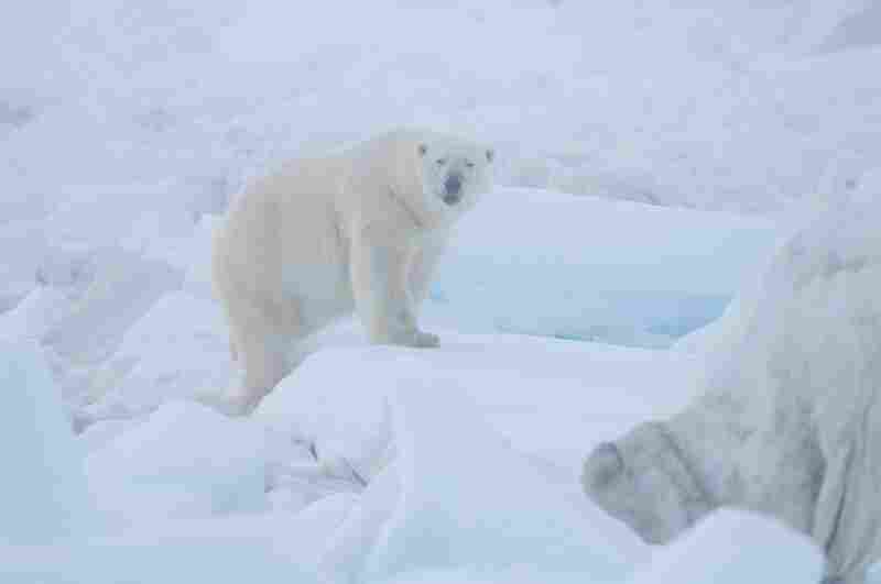A polar bear patrols the pack ice on the Chukchi Sea in Alaska, looking for seals under the ice.