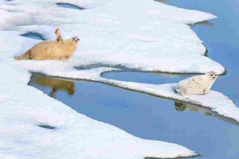 Ringed seals rest on sea ice in early summer on the Beaufort Sea.